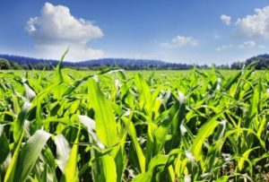 Field of corn with blue sky. Custom fertilizer blends now available!